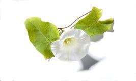 旋花类的植物白色 免版税库存图片