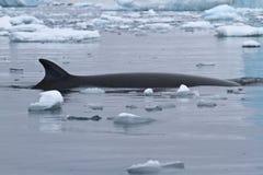 旋转和在南极州浮出水面Minke的长须鲸 库存照片