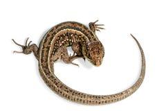 旋转的蜥蜴 免版税库存照片