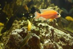 水族馆丽鱼科鱼红色斑马 库存图片
