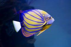 水族馆天使鱼 库存图片
