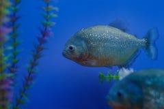 水族馆的异乎寻常的热带珊瑚鱼环境 免版税库存照片