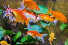 水族馆鱼特写镜头通过玻璃 免版税库存图片