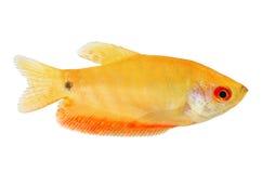 水族馆鱼金黄吻口鱼Trichogaster trichopterus金子 免版税图库摄影