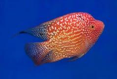 水族馆鱼,花在蓝色屏幕上的垫铁鱼 免版税库存图片