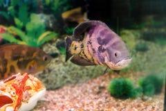 水族馆鱼Astronotus 免版税图库摄影