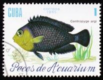 水族馆鱼Centropyge argi,大约1985年 免版税库存照片
