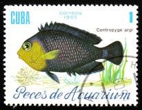 水族馆鱼Centropyge argi,大约1985年 库存照片