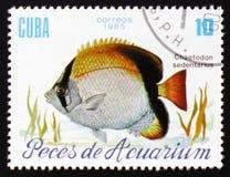 水族馆鱼Chaetodon Sedentarius,大约1985年 库存图片