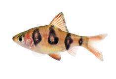 水族馆鱼Rhombo巴勃Puntius rhomboocellatus淡水热带 免版税库存图片