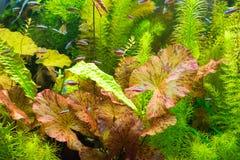 水族馆,红色Tigerlotus 免版税库存图片