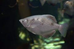 水族馆黑色图画鱼线路白色 免版税图库摄影