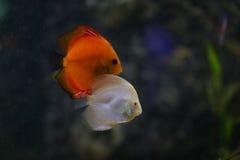 水族馆fisches热带的一些 免版税库存照片