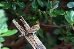 旗布elegans emberiza红喉刺莺的黄色 免版税库存照片