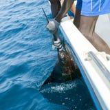 旗鱼sportfishing抓住的尖嘴鱼类拿着票据 库存图片