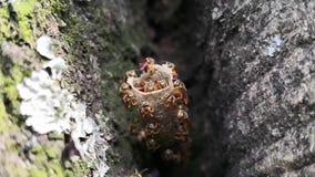 无刺的蜂超级慢动作录影在他们的蜡管巢的 股票录像
