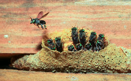 无刺的蜂 免版税库存图片