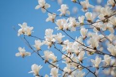 无危险开花的木兰天空 库存图片
