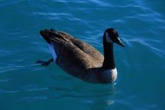 无危险自由地游泳湖水的加拿大鹅 免版税库存图片