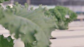 无头甘蓝植物在水耕的农场,手扶的4k慢动作 影视素材