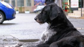 无家可归的卷毛狗在城市街道上说谎以通过汽车和人为背景 影视素材