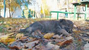 无家可归的在叶子的小狗哀伤的谎言 影视素材