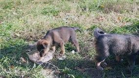 无家可归的小狗哀伤说谎在草,吃从一个碗的食物在街道上的两只无家可归的小狗 股票视频