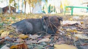无家可归的小狗哀伤说谎在草 股票录像