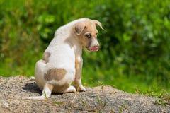 无家可归的小狗或炉渣狗本质上寻找收养的 库存照片