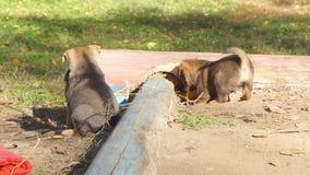 无家可归的小狗被演奏和在沙盒的奔跑 股票录像