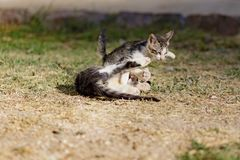 无家可归的小猫戏剧 图库摄影