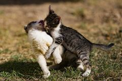 无家可归的小猫戏剧 免版税库存图片