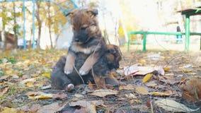 无家可归的小的小狗是哀伤的,并且第二防止哀伤 股票视频