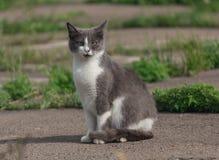 无家可归的灰色猫 免版税库存照片