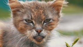 无家可归的灰色肮脏的猫,饥饿破旧和病,坐在村庄街道上的一条农村路 股票视频