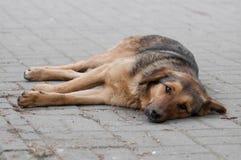 无家可归的狗休息的朝前看 库存照片