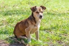 无家可归的狗 一条无家可归的逗人喜爱的棕色狗走本质上 狗r 免版税库存图片