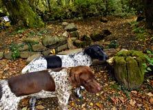 无家可归的狗kurtshaar在山的森林里 免版税库存图片
