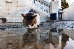 无家可归的猫在雨以后喝从水坑的水 免版税库存图片