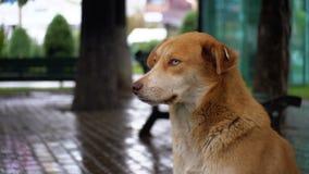 无家可归的红色狗在雨中坐一条城市街道以通过汽车和人为背景 影视素材