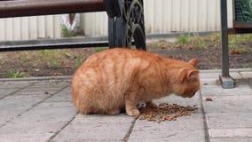 无家可归的红色猫吃猫食 股票视频