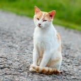 无家可归的红色猫坐温暖的柏油路 一只离群猫l 库存图片