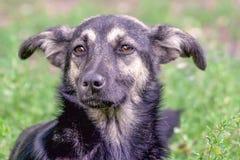 无家可归者狗杂种动物的画象 图库摄影