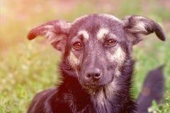无家可归者狗杂种动物的画象 库存照片