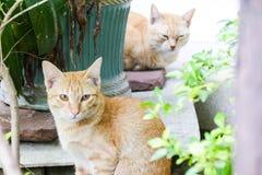 无家可归者猫在一个寺庙居住在泰国 免版税库存照片