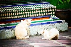 无家可归者猫在一个寺庙居住在泰国 免版税库存图片