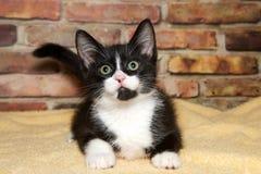 无尾礼服小猫画象  库存照片
