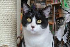 无尾礼服小猫 免版税库存照片