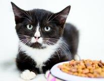无尾礼服猫收养照片 免版税库存照片