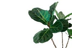 无意识而不停地拨弄叶子无花果树榕属lyrata绿色叶子在白色背景隔绝的普遍的装饰树热带室内植物, 库存图片